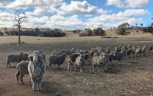 sheep in dry field